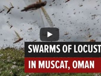 WATCH: Locust swarms hit parts of Muscat.