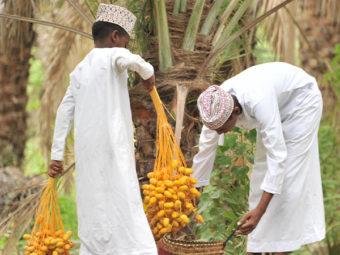 Gallery: Date harvesting season begins in Oman
